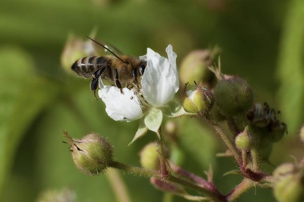 pszczoly01