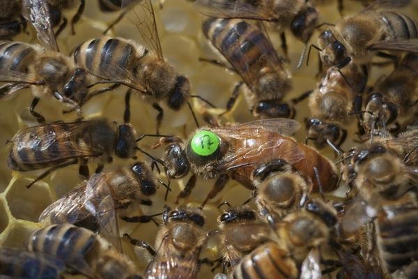 pszczoly09