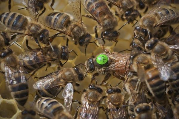 pszczoly11