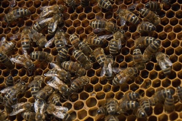 pszczoly13