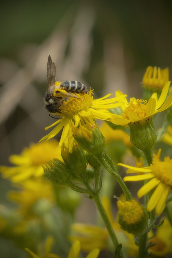 pszczolyy1