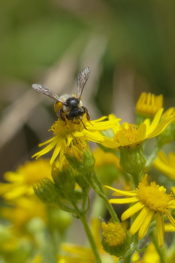 pszczolyy2